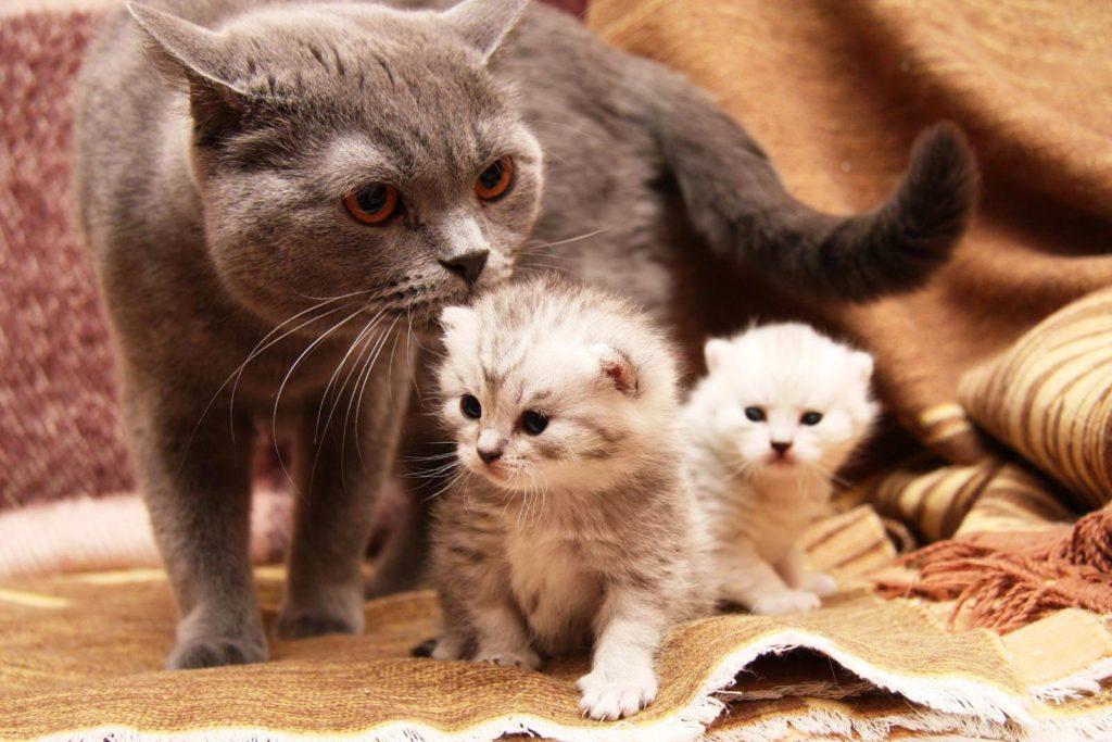 Что делать хозяину, если кормящая кошка вновь забеременела