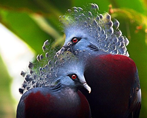 Самый красивый голубь в мире - веероносный венценосный голубь