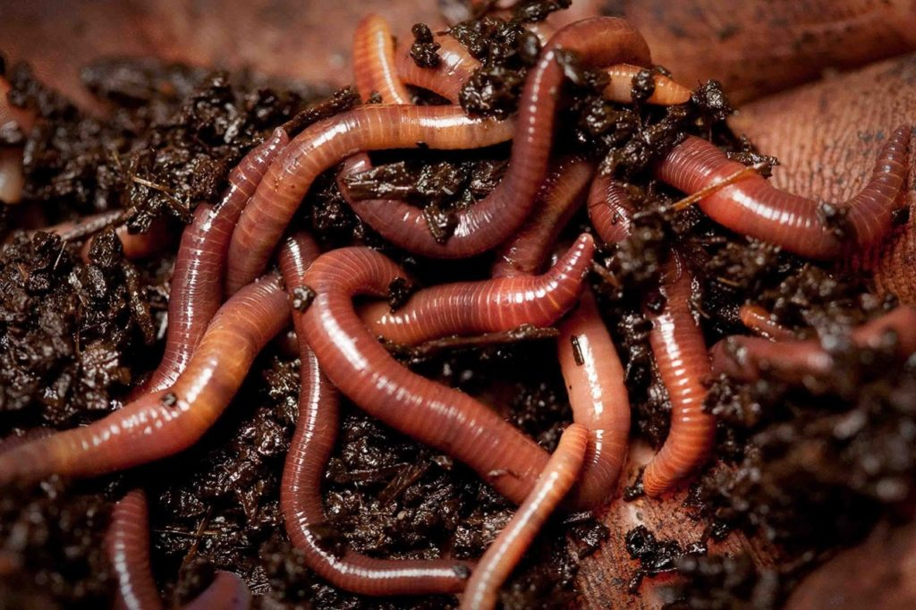 Дождевые черви бывают до 6-ти метров в длину и способны спариваться часами