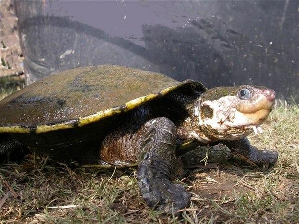 Элсея белогорлая, уникальная черепаха, способная дышать попой, находится под угрозой исчезновения