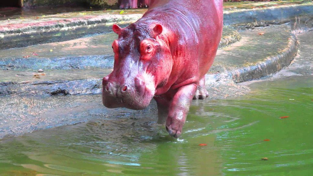 Красный пот у бегемота — правда или вымысел?