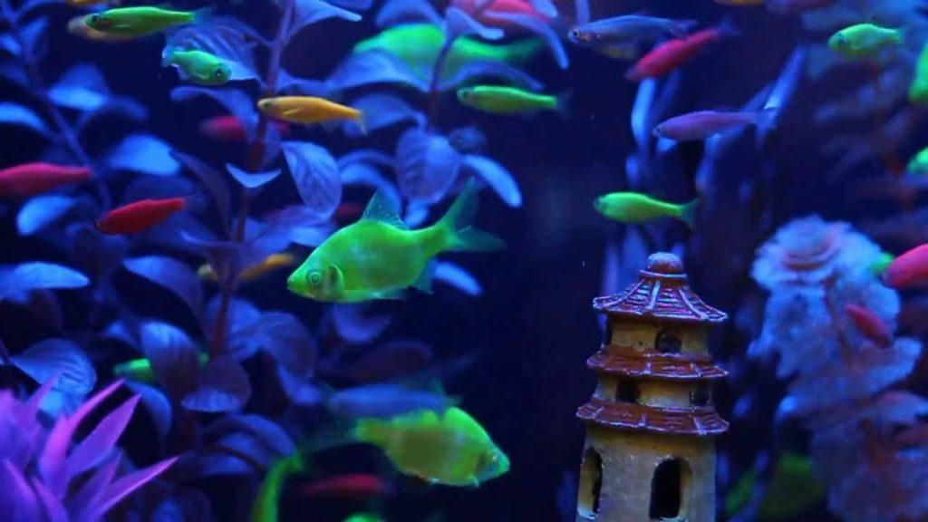 Необычные рыбки для аквариума, которые светятся