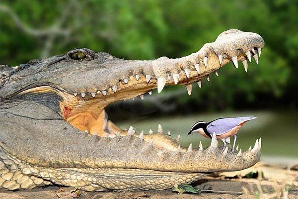 """Нужны ли крокодилам """"живые зубочистки""""?"""