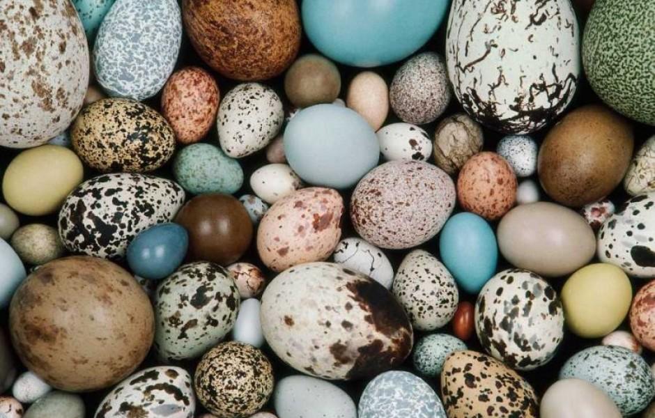 От чего зависит цвет птичьих яиц?