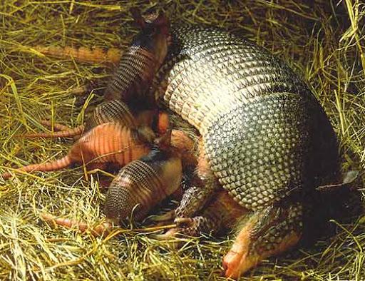 Самые необычные формы беременности в мире животных