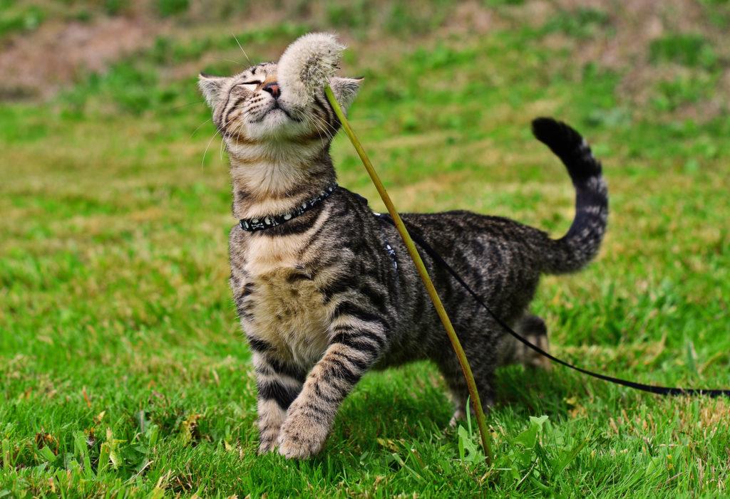 Тонкости приучения кота к прогулочному поводку