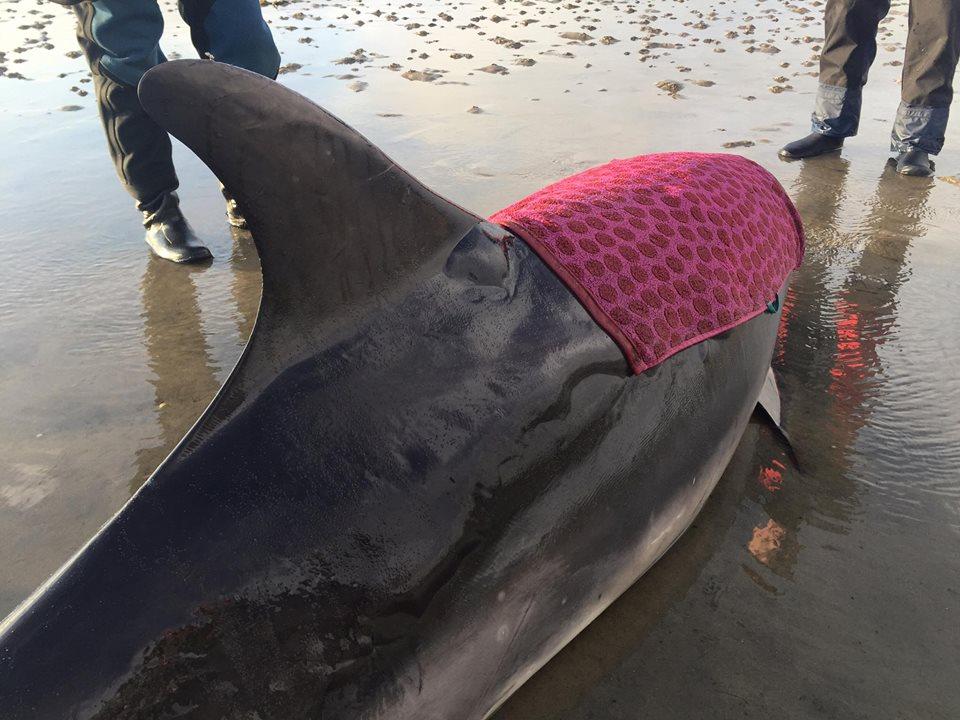 Почему нельзя трогать дельфина, который выбросился на берег