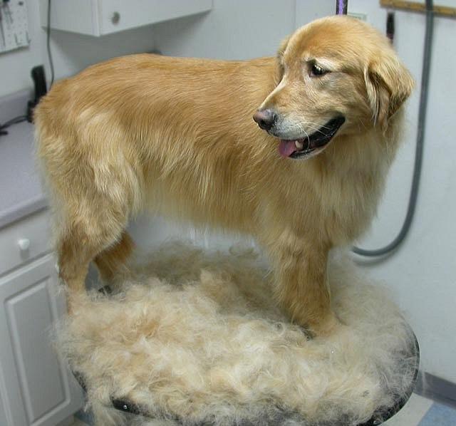 Какие собаки так сильно линяют, что из их шерсти можно делать носки