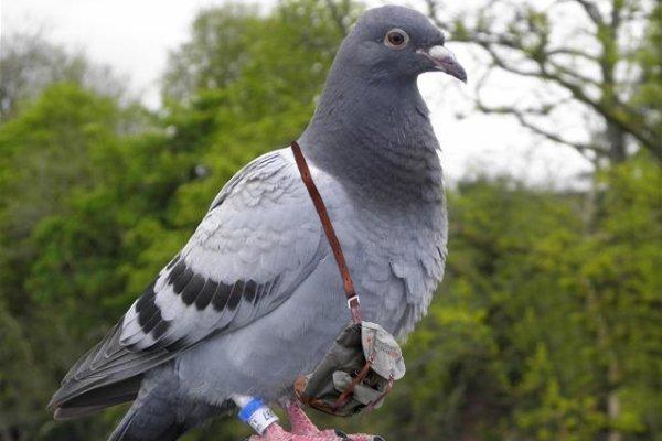 Ученые: голуби думают быстрее, чем люди