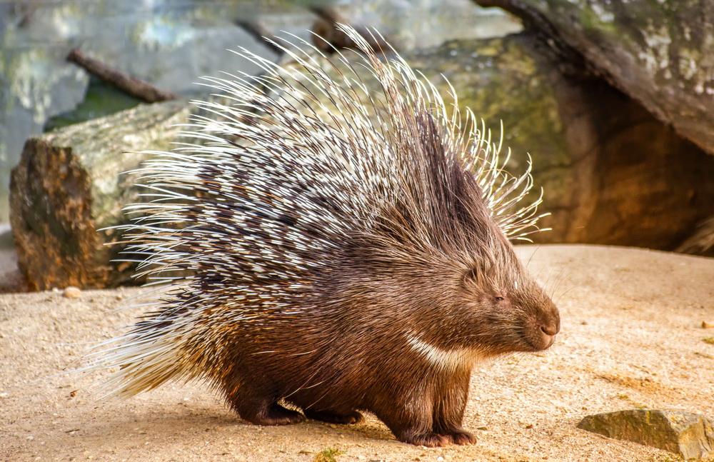 10 колючих животных: защита, оборона или обман для хищника