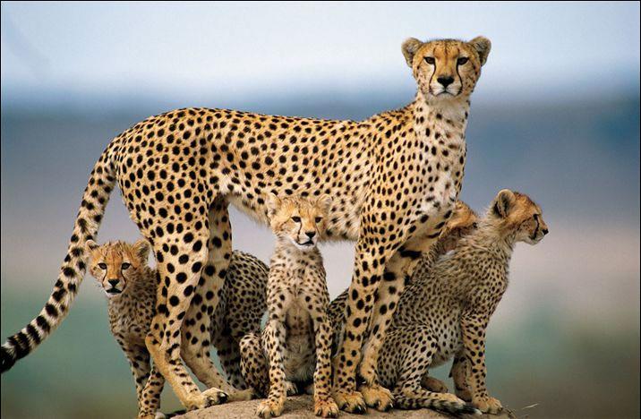 Как животные учат своих детенышей охотиться?