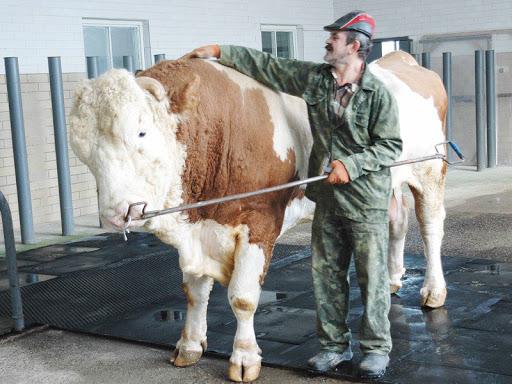 Самые большие быки с официально зафиксированными параметрами