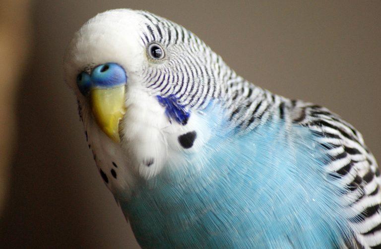 Три основные причины расслоения клюва у домашних попугаев