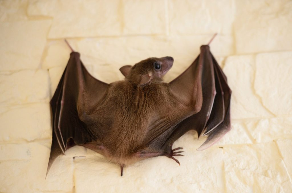 Летучие мыши в домашних условиях: об условиях содержания, о еде и приручении