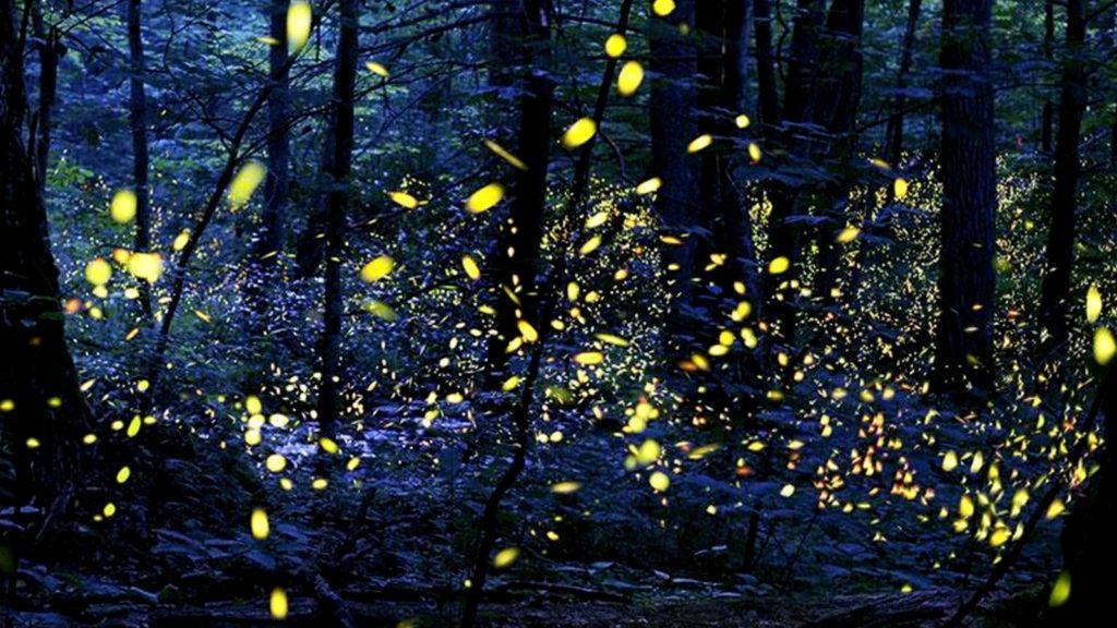 Загадки синхронного мерцания светлячков