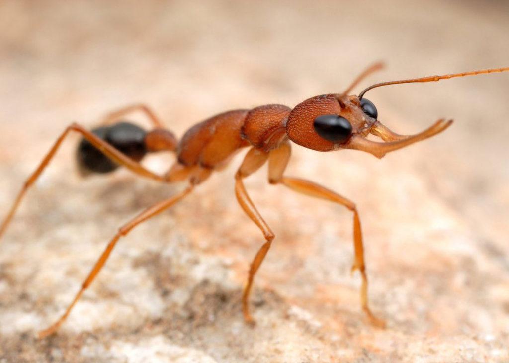 Кто заменит погибшую королеву? К удивлению зоологов, Индийские прыгающие муравьи делают это запросто.