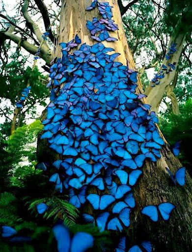 """""""Частица неба, упавшая на землю"""": удивительной красоты бабочка морфо"""