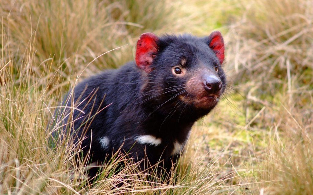 Тасманийский дьявол: какой он на самом деле