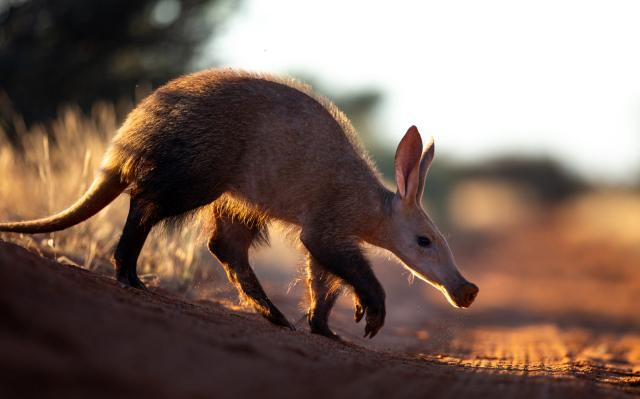 Трубозуб - один из самых причудливых представителей экзотической африканской фауны.