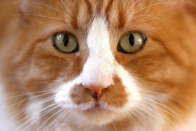 Необычные факты о кошачьем носе