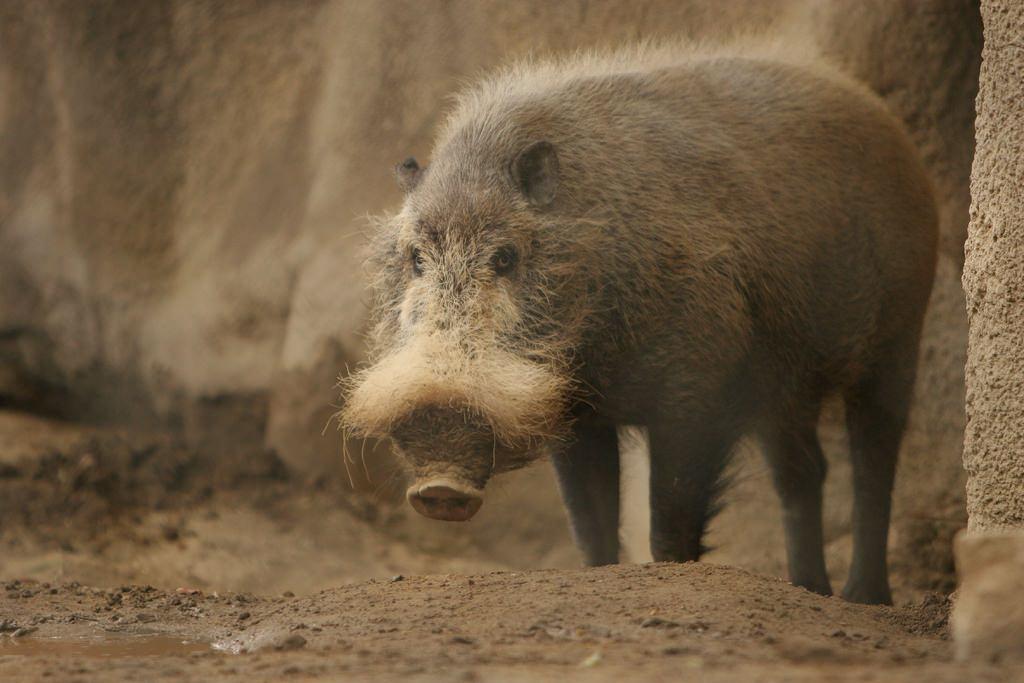 Бородатая свинка — интересное природное создание