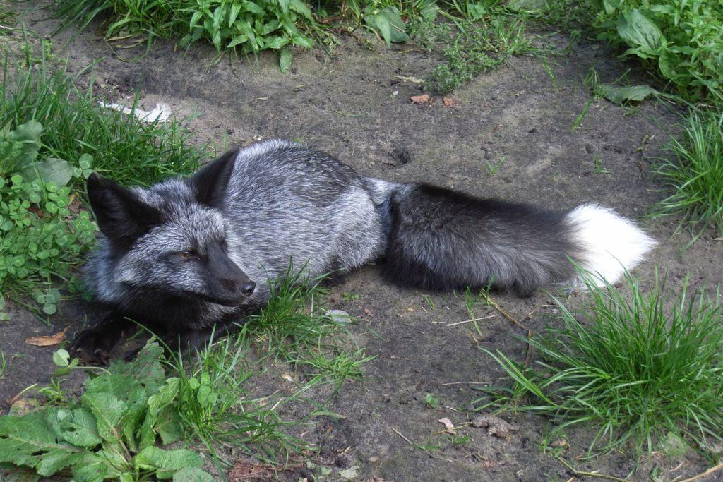 Чернобурая лисица или серебристо-черная