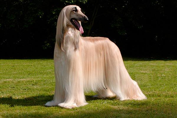 Упрямый характер: собаки, которых сложно дрессировать